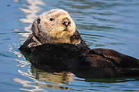 Close up of a adult female sea otter (Enhydra lutris nereis) grooming slowly by rubbing the fur on her head, Moss Landing in the Monterey Bay National Marine Sanctuary. The bloody nose indicates the otter has recently engaged in mating activities and is probably female. The male often holds the female by the nose during mating.