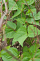 Dwarf French bean 'Speedy', mid June. Hazel twigs provide support and deter birds.