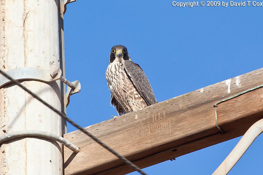 Peregrin Falcon imm, Pacific side, Baja, Mexico