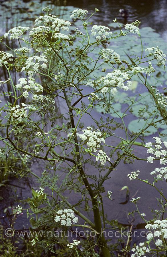 Giftiger Wasser-Schierling, Wasserschierling, Schierling, Cicuta virosa, Cowbane, Northern Water Hemlock