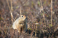 Arctic ground squirrel, Gates of the Arctic National Park, Alaska.