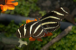 Zebra Longwing, Heliconius charithonia, Southern California