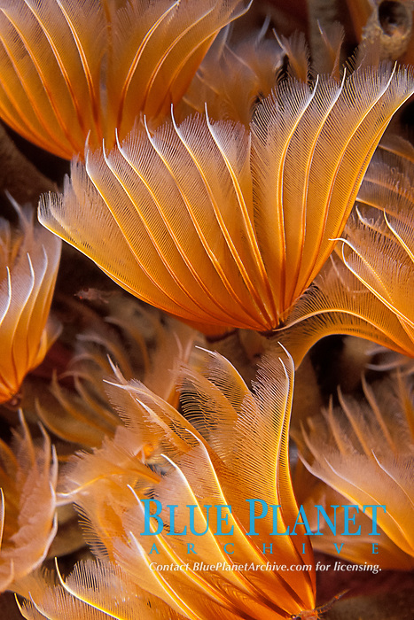feather-duster worms, Bispira brunnea, Commonwealth of Dominica (Eastern Caribbean Sea), Atlantic