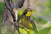 Canada Warbler (Wilsonia canadensis) male along Lake Erie shoreline during spring migration.