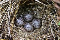 Brachpieper, Brach-Pieper, Ei, Eier, Gelege im Nest, Anthus campestris, tawny pipit