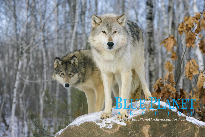 Grey Wolf (Canis lupus), two adults, standing on rock, in snow, captive, Minnesota, USA, North America