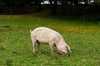 BNPS.co.uk (01202 558833)<br /> Pic: Graham Hunt/BNPS<br /> <br /> Pigs foraging on the verge next to Cadham Lane.<br /> <br /> Hundreds of pigs have been let loose in the ancient New Forest national park to gobble up fallen acorns which are poisonous to other animals. <br /> <br /> The quirky tradition involves swine roaming the Hampshire woodland to clear it of the fruit which can be fatal to the famous ponies and cattle. <br /> <br /> Commoners released their herds today marking the beginning of the annual event known locally as Pannage. <br /> <br /> They will spend 60 days rummaging around the 70,000 acre forest before being rounded up in November.