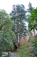 Champion tree. Abies alba, Silver fir at Ardkinglas Woodland garden, Cairndow, Argyll.