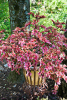 Colorful coleus specimen Solenostemon in pot container in sun shade under tree in garden