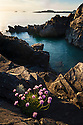 Thrift {Armeria maritima} growing on a sea cliff, Iona, Isle of Mull, Scotland, UK. June.