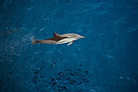 short-beaked common dolphin, Delphinus delphis, leaping, bow-riding, Pacific Ocean
