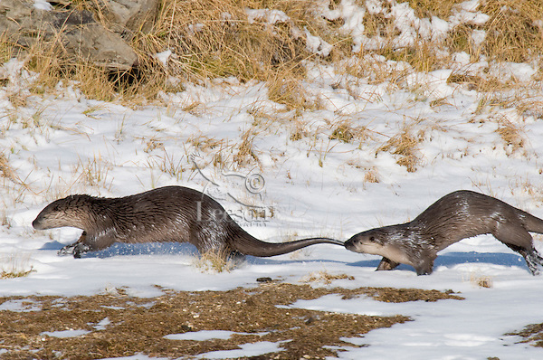 Northern River Otter (Lontra canadensis) running and playing along river bank.