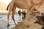 All the caravans on the way up or down stop at Assa Bolo. Each man had a task. Some unloaded the salt blocks and hobbled the camels and mules, some lit small fires for brewing tea and baking bread, while others fetched sacks of hay  to feed their animals