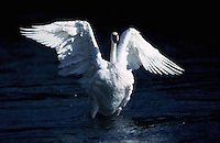 Snow Geese, Bosque Del Apache Wildlife Refuge, New Mexico