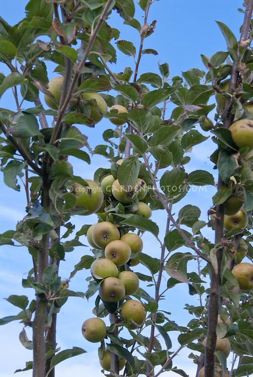 Malus Golden Harvey apple aka Round Russet Harvey aka Brandy apple fruit trees