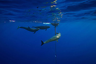 three false killer whales, Pseudorca crassidens, ganging up on a lone yellowfin Tuna, Thunnus albacares, which is taking refuge under the FAD (Fish Aggregation Device), off Kohala Coast, Big Island, Hawaii, USA, Pacific Ocean