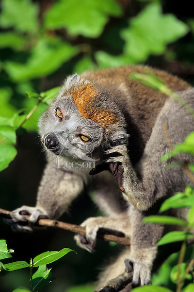 Crowned lemur (Eulemer coronatus) male scratching, Endangered Species