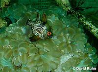 0121-08nn  Pajama Cardinal Fish - Polka Dot Cardinal Fish - Sphaeramia nematoptera © David Kuhn/Dwight Kuhn Photography