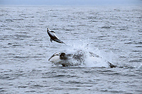 transient orca or killer whale, Orcinus orca, attacking Pacific white-sided dolphin, Lagenorhynchus obliquidens, Monterey Bay, California, East Pacific Ocean (2 of 4), hunting, attacking