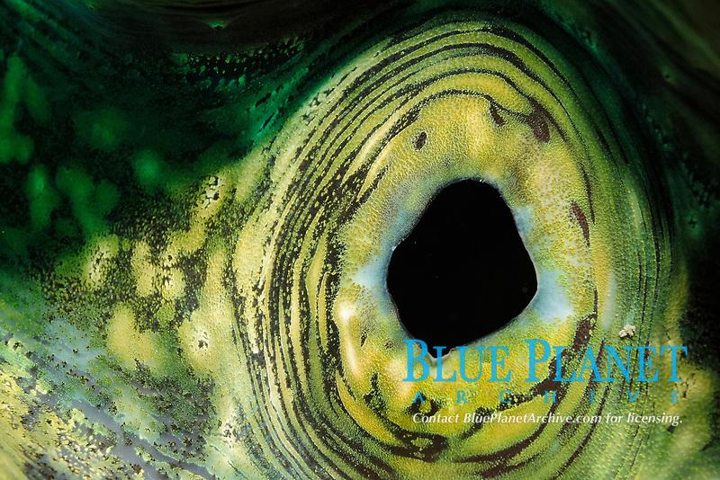 Inside a giant clam, latin name Tridacna squamosa, off Safaga coast, Red Sea, Egypt,