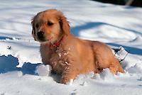 A Golden Retriever puppy in the snow.