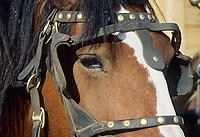 Draft horse in harness at a farm in Delta Junction, Alaska
