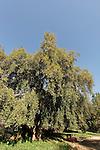 Israel, Sharon region. Cork Oak (Querqus suber) in Ilanot