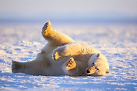 polar bear, Ursus maritimus, rolling over on the pack ice, 1002 coastal plain of the Arctic National Wildlife Refuge, Alaska, polar bear, Ursus maritimus
