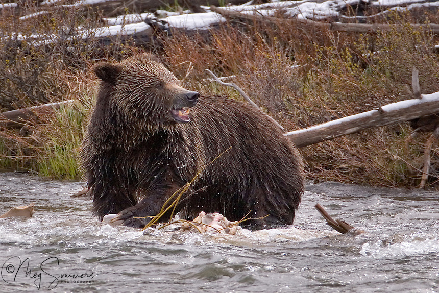 This adult female grizzly bear (Ursus arctos horribilis) got lucky and found an elk carcas in the Garndiner river near Sheepeater in Yellowstone. It was in early May so the elk was probably an winter kill.  She was not interested in sharing.  Sheepeater, Yellowstone.
