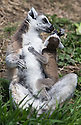 """16/05/16<br /> <br /> """"Snack time!""""<br /> <br /> Three baby ring-tail lemurs began climbing lessons for the first time today. The four-week-old babies, born days apart from one another, were reluctant to leave their mothers' backs to start with but after encouragement from their doting parents they were soon scaling rocks and trees in their enclosure. One of the youngsters even swung from a branch one-handed, at Peak Wildlife Park in the Staffordshire Peak District. The lesson was brief and the adorable babies soon returned to their mums for snacks and cuddles in the sunshine.<br /> All Rights Reserved F Stop Press Ltd +44 (0)1335 418365"""