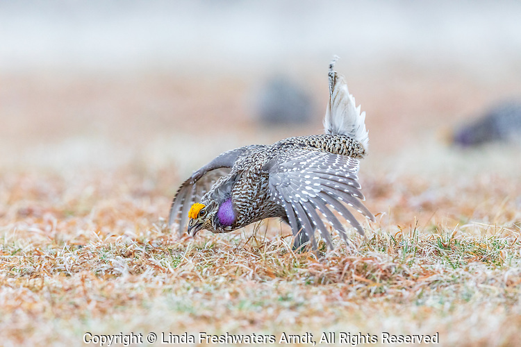 Sharp-tailed grouse dancing on a lek in the Namekagon Barrens.
