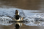 Drake hooded merganser swimming in a northern Wisconsin wilderness lake