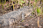 Ding Darling National Wildlife Refuge, Sanibel Island, Florida; an American Alligator (Alligator mississippiensis) sunning itself on the shore at the water's edge © Matthew Meier Photography, matthewmeierphoto.com All Rights Reserved