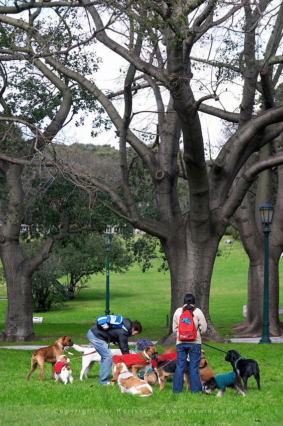 Two persons walking many dogs, in a park, in Buenos Aires there are many dog kindergarten where you can leave the dog for the day and someone takes care of it and walks it when you are working. Big black curvy trees. Buenos Aires Argentina, South America