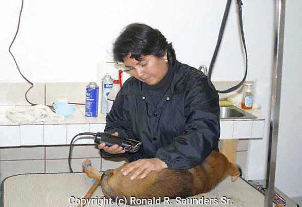 MEXICAN DOG GROOMER SHAVES DOG FOR SPAY AT CLINIC IN SAN FELIPE