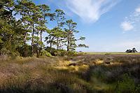 Nags Head Woods, a Nature Conservancy Preserve.  Nags Head, North Carolina.  Roanoke Trail, Loblolly Pine Trees, Wetlands Marsh.