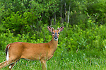 Yearling white-tailed buck