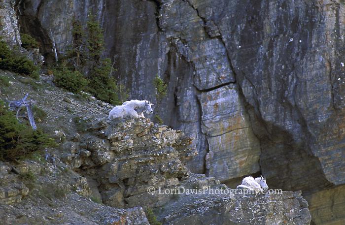 Mt Goat family on ledge  #G1