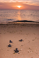 Australian flatback sea turtle hatchlings, Natator depressus (c-r), endemic to Australian continental shelf, crawl down nesting beach to ocean at sunset, Torres Strait, Queensland, Australia