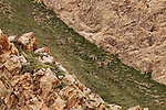 Argali (Ovis ammon) herd grazing on canyon wall, Pikertyk, Tien Shan Mountains, eastern Kyrgyzstan
