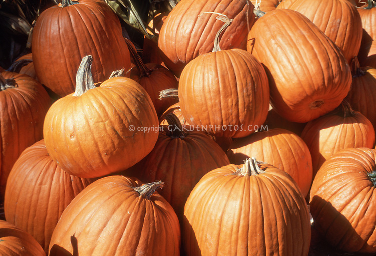 Pumpkins picked and ready for Halloween