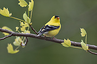 Male American Goldfinch (Spinus tristis).  Great Lakes Region.  May.