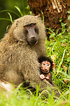 Olive Baboon (Papio anubis) mother and young, Kibale National Park, western Uganda
