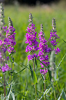 Blutweiderich, Blut-Weiderich, Gewöhnlicher Blutweiderich, Lythrum salicaria, Purple Loosestrife, Spiked Loosestrife, purple lythrum, La Salicaire, La Salicaire commune