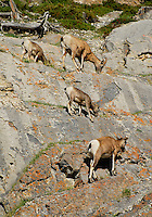 Big Horn Sheep grazing on high in the cliffs in Jasper National Park Alberta Canada