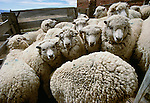 Sheep in holding pens for shearing, Patagonia, Argentina