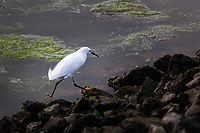 The 'Golden Slippers' of a Snowy egret easily maneuver over the rocky shore at the San Leandro Marina on San Francisco Bay.