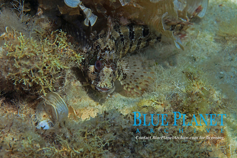 blenny, tompot blenny, parablennius gattorugine, Aegean sea, Mediterranean