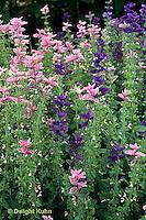 HA22-128x  Salvia - Oxford Blue and Pink Sundae varieties - Salvia spp.