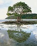 Mangrove Tree & Reflection,<br /> Daintree NP<br /> FNQ